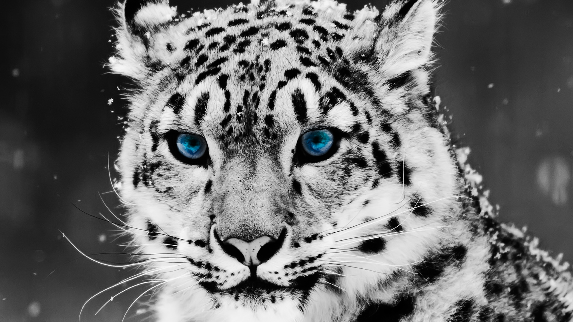 Black and white tiger with color splashed light beautiful blue eyes ... Tiger Eyes Black And White