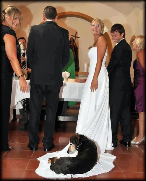 Dog Sleeps on Wedding Dress Train Photobomb