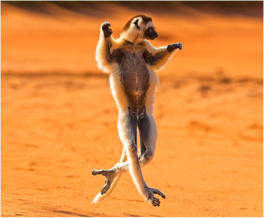 dancing madagascar in a desert - funny